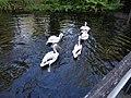 ZOO Hellabrunn, München - pelikani u vodi.jpg