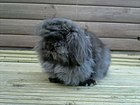 Zashion's Beatrice, Mini Lion Lop.jpg