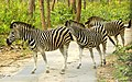 Zebras Crossing.jpg
