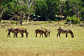 Zebras in Tsavo East (5232102587).jpg