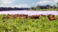 Ziegen eines Biobauern im Landschaftsschutzgebiet mittlere Elbe.tif
