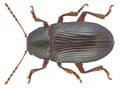 Zohrana semistriatus Pic, 1950 (16846083679).png
