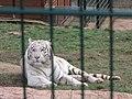 Zoo des 3 vallées - Tigre blanc - 2015-01-02 - i3420.jpg