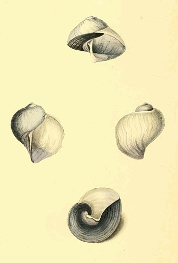 Zoological Illustrations Volume II Plate 85.jpg
