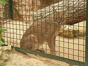 Caracal (Caracal caracal); Zoopark in Zájezd, ...