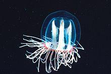 Das Plankton 220px-Zooplankton1_300