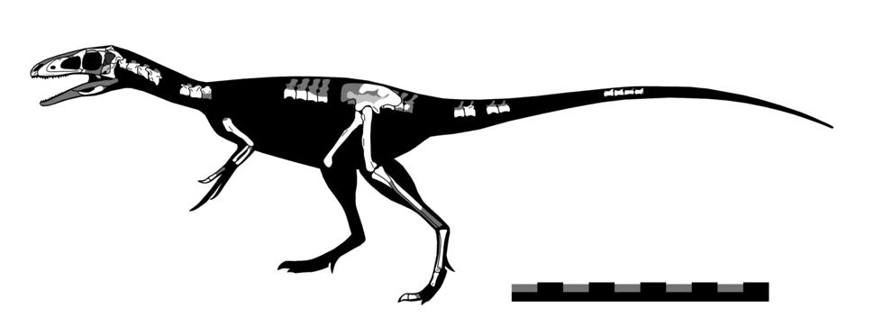 Zuolong skeletal