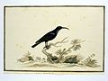 Zwarte honingvogel (Nectarinia amethystina).jpeg