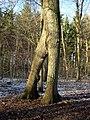 Zweibeinige Eiche bei Bonn-Röttgen.jpg