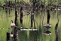 Zwergkanadagans (Branta hutchinsii) im NSG Nr. 100 Nienwohlder Moor.jpg