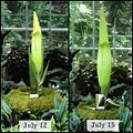 'Corpse Flower' nearing bloom, view at USBG today 10-8. -stinkyplant (9293649552).jpg
