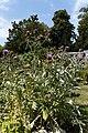 'Cynara cardunculus' Artichoke in Victorian garden Quex House Birchington Kent England 2.jpg