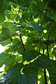 'Paulownia tomentosa' Empress tree Capel Manor Gardens Enfield London England 2.jpg