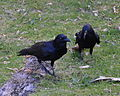 (1)crows Centennial Park-3.jpg