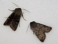 (2188) Clouded Drab (Orthosia incerta) and (2185) Lead-coloured Drab (Orthosia populeti) (5549037213).jpg