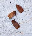 (2258) The Chestnut (Conistra vaccinii) (21467057583).jpg