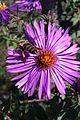 Бджоли на квітах 02.jpg