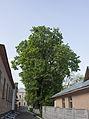 Вікове дерево клена-явора 08.jpg
