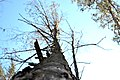 Дерево. Межигірсько-Пуща-Водицький.jpg