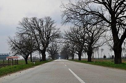 Дрворед храстова на путу према Бачком Петровом Селу.jpg