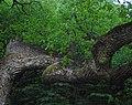 Дуби — Голосіївські велетні, вид з гущавини.jpg