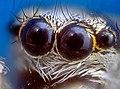 Оптика паука -скакуна под микроскопом.jpg