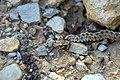 تره مار، گونه ای از مارهای سمی در روستای خفر پادنا در ایران 05.jpg