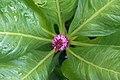 گل تاج خروس-Unidentified Amaranthus in iran 11.jpg
