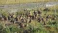 এজাক শৰালী হাঁহ ৰ'দ পুৱাই থকাৰ দৃশ্য, A group of lesser whistling duck in a sunny weather..JPG