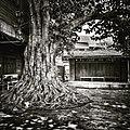 ต้นโพธิ์(sacred fig) ที่ตลาดสามชุก,Samchuk market,Sam Chuk District,Suphanburi Province,Thailand - panoramio.jpg