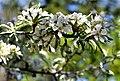 ბერყენა ფშატფოთოლა Pyrus elaeagrifolia Ölweidenbirne 2.JPG
