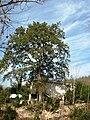 მუხის ხე დეკემბერში (G.N. 2010).jpg