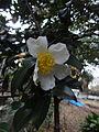サザンカ(山茶花)(Camellia sasanqua)-花 (5844564921).jpg