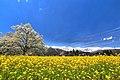 四十九院のこぶし - panoramio (4).jpg