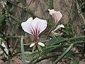 天竺葵屬 Pelargonium myrrhifolium -英格蘭 Wisley Gardens, England- (9252383235).jpg
