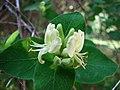 忍冬屬 Lonicera iberica -維也納大學植物園 Vienna University Botanical Garden- (28567884541).jpg