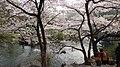杭州 西湖 太子湾景区(马年樱花) - panoramio (10).jpg