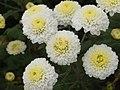 杭菊 Chrysanthemum morifolium - panoramio.jpg