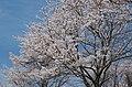 東片添町の桜 Cherry trees in Higashi-Katasoe-chō 2014.4.01 - panoramio (1).jpg