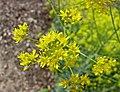 歐洲菘藍 Isatis tinctoria -比利時國家植物園 Belgium National Botanic Garden- (9216101624).jpg