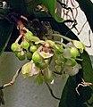 無莖盆距蘭 Gastrochilus obliquus -香港沙田洋蘭展 Shatin Orchid Show, Hong Kong- (30662252934).jpg