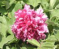 牡丹-捲葉紅 Paeonia suffruticosa 'Curly-Leaf Red' -菏澤曹州牡丹園 Heze, China- (12452665524).jpg