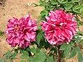 牡丹-繡桃花 Paeonia suffruticosa 'Embroidered Peach Flower' -武漢東湖牡丹園 Wuhan, China- (12496566944).jpg