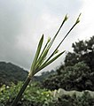 短葉茳芏 Cyperus malaccensis v brevifolius -香港嘉道理農場 Kadoorie Farm, Hong Kong- (9673694292).jpg