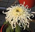 菊花-初春 Chrysanthemum morifolium 'Early Spring' -中山小欖菊花會 Xiaolan Chrysanthemum Show, China- (11962013286).jpg