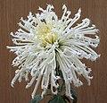菊花-粉毛刺 Chrysanthemum morifolium 'Pink Hairy Thorns' -香港房委樂富花展 Lok Fu Flower Show, Hong Kong- (12027169086).jpg