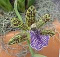 軛瓣蘭 Zygopetalum intermedium -泰國清邁花展 Royal Flora Ratchaphruek, Thailand- (9255244178).jpg