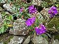 野牡丹 Malastoma candidum - panoramio.jpg