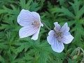 野生老鸛草 Geranium maculatum -英格蘭 Brockhole, England- (9198167107).jpg