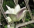 鬱金香-百合型 Tulipa Elegant Lady -武漢植物園 Wuhan Botanical Garden- (9252405193).jpg
